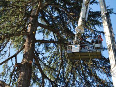 Fasi di abbattimento albero Cedrus deodara a Salò-Lago di Garda