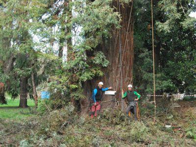 Sequoia sempervirens:potatura in tree climbing