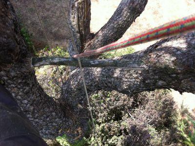 particolarità su esemplare di Pinus pinea