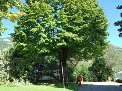 Grassa rottura di una branca di Tiglio capitozzato a seguito a forte vento sul lago di Garda