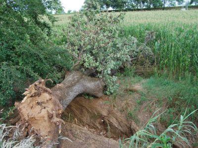 Schianto di una quercia con compromissione apparato radicale in seguito a forte temporale