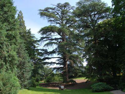 Stimolazione radicale su grande cedro