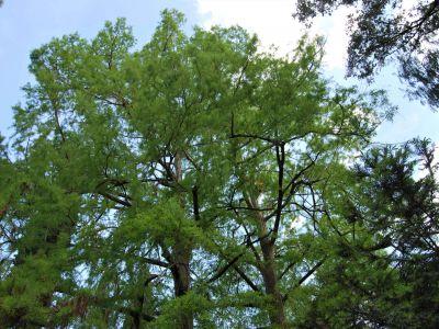 Potatura Taxodium distichum