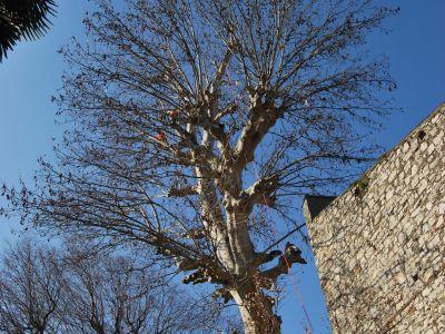 Potatura  in tree climbing Platano secolare