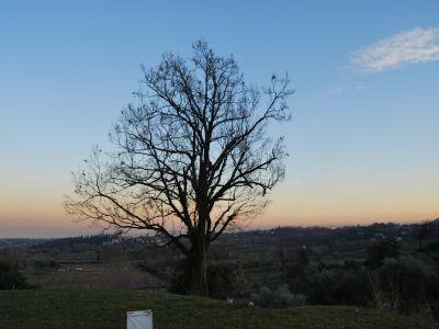 Potatura  in tree climbing quercia dopo intervento