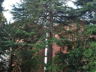 Potatura in tree climbing Cedro deodara Lago di Garda