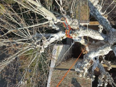 Potatura Platano  in tree climbing