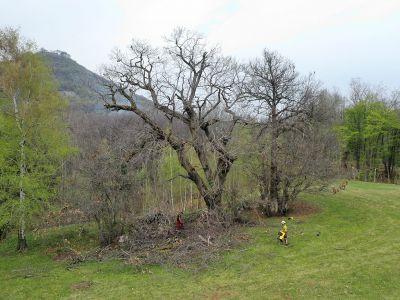 Potatura castagni secolari in tree climbing